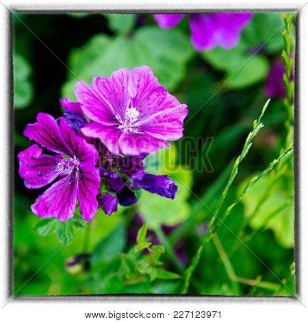 Closeup Of A Beautiful Wild Purple Mallow