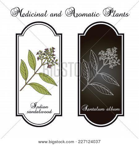 Indian Sandalwood Santalum Album , Medicinal Plant. Hand Drawn Botanical Vector Illustration
