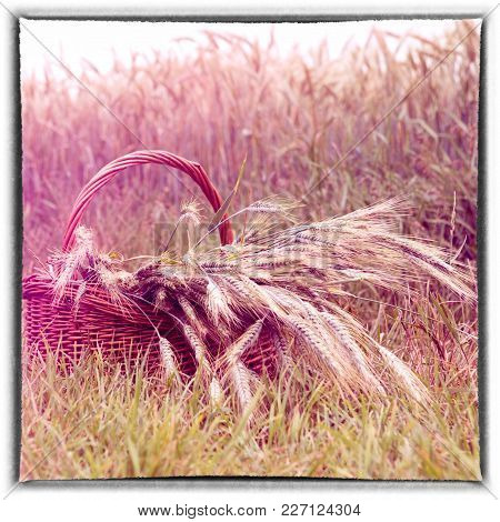 Closeup Of Basket With Grain In Front Of Cornfield