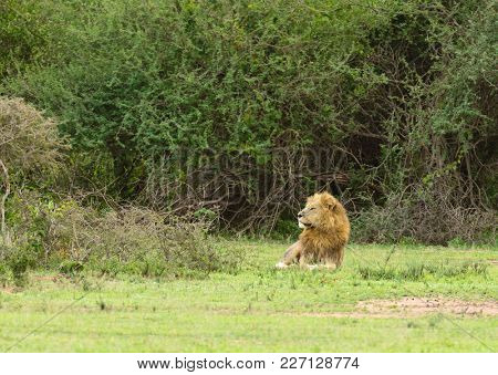 Male lion watching for prey