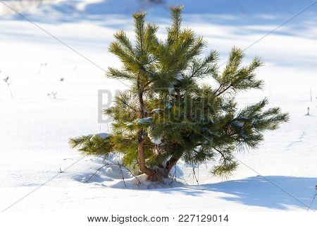 Coniferous Green Tree On Snow In Winter .