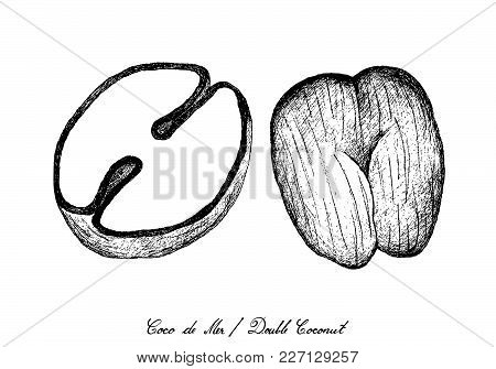 Tropical Fruits, Illustration Of Hand Drawn Sketch Coco De Mer Or Double Coconut Fruits Isolated On
