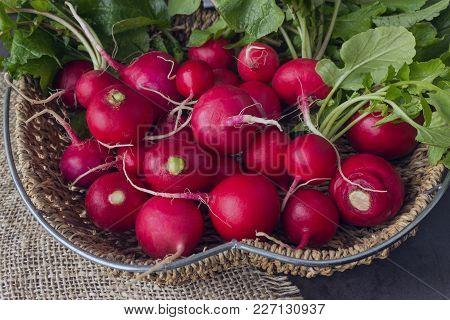 Freshly Harvested Colorful Radish. Growing Radish. Growing Vegetables. Organic Vegetables.