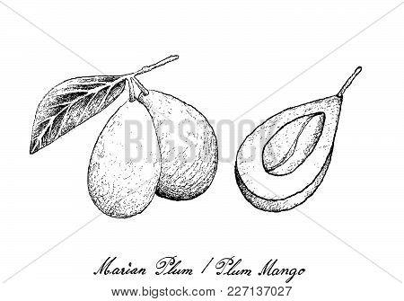 Fresh Fruits, Illustration Of Hand Drawn Sketch Fresh Marian Plum Or Plum Mango Fruits Isolated On W