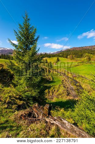 Spruce Trees Over The Grassy Slope. Beautiful Springtime Landscape Of Rural Area. Wooden Fence Aroun