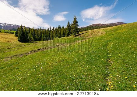 Grassy Meadow With Flowers In Mountains. Beautiful Springtime Scenery With Spruce Forest. Mountains