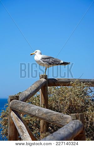 Seagull Standing On A Wooden Fence On The Cliff Top Overlooking The Ocean, Praia Da Rocha, Algarve,