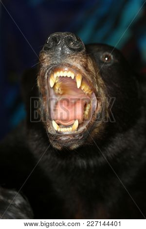taxidermy of a black bear with an open mouth showing its teeth and tonge