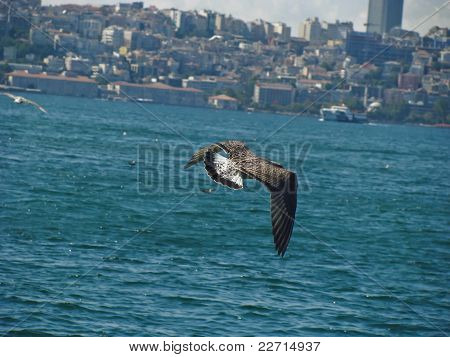 Seagull hunting for fish