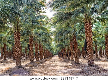 Plantation Of Date Palms.  Dates Have An Important Place In Advanced Desert Agriculture Of The Middl