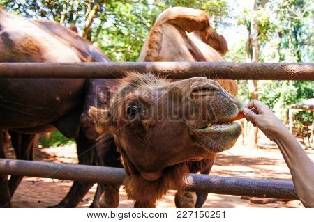 Funny Camel Eating A Carrot In The Summer On The Nature.