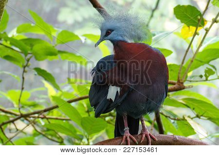 The Largest Extant Pigeon, Victoria Crowned Pigeon, Goura Victoria. Blue Colored Bird With Red Eye A