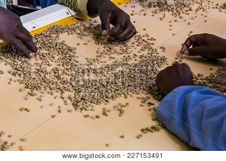 Close Up Of Workers In A Coffee Bean Factory, Raw Coffee Bean Sorting And Processing In A Factory