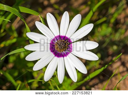 Large Daisy Known In Afrikaans As A Rain Flower With White Petals And A Purple Ring And Yellow Polle
