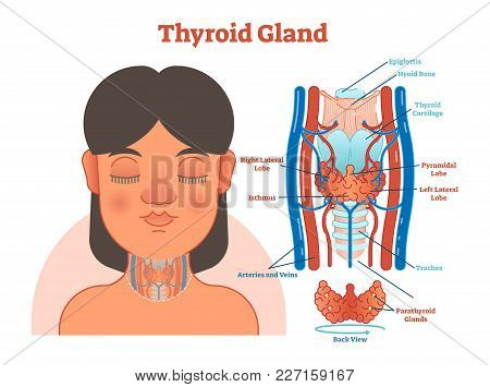 Thyroid Gland Anatomical Vector Illustration Diagram, Educational Medical Scheme With Arteries, Vein