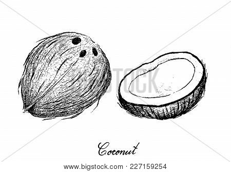 Tropical Fruits, Illustration Of Hand Drawn Sketch Coconut Or Ocos Nucifera Fruits Isolated On White