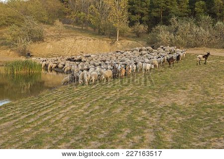 Sheep Graze In The Hills, Sheep At Sunset