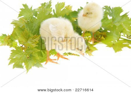 live little chicken animal isolated on white background on green leaves poster