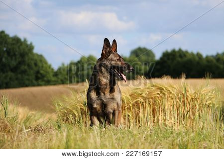 Belgian Shepherd Is Sitting In A Corn Field