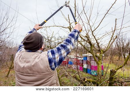 Farmer Is Pruning Branches Of Fruit Trees In Orchard Using Long Loppers At Early Springtime.