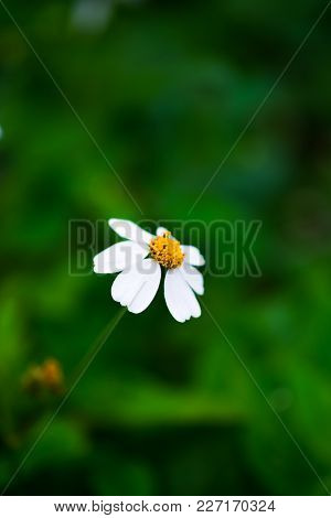 A Little Flowers, White Petals And Yellow Stamens On Blurred Green Grass Background, Selective Focus