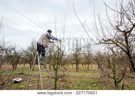 Gardener Is Climbed On Ladders And He Cutting Branches, Pruning Fruit Trees With Long Shears In The