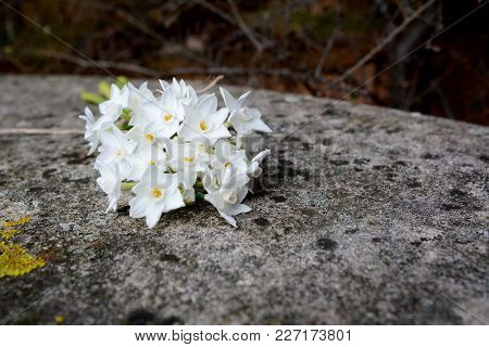 White Narcissus Flowers On Stone Bench