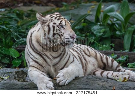 Rare Blue Eyed White Tiger Resting On A Rock