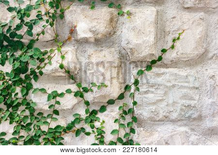 Stone Wall Covered With The Green Ivy (hedera).