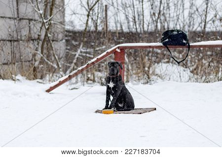 Cane Corso Is Waiting For His Master In The Cold