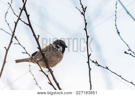 Small Bird Sitting On  A Tree. The House Sparrow Also Known As Passer Domesticus, The Common Bird.