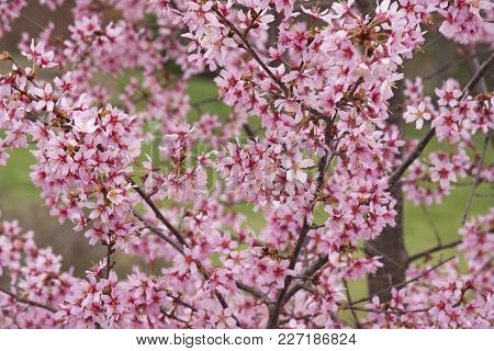 Okame Flowering Cherry Flowers