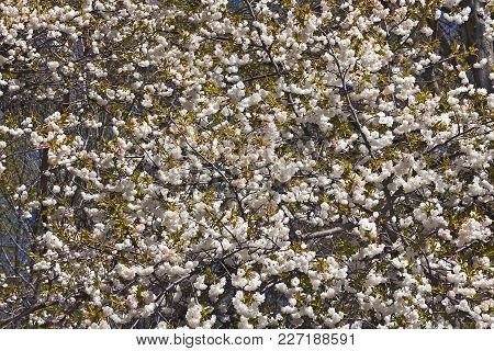 Shirotae Japanese Flowering Cherry Tree In Blossom