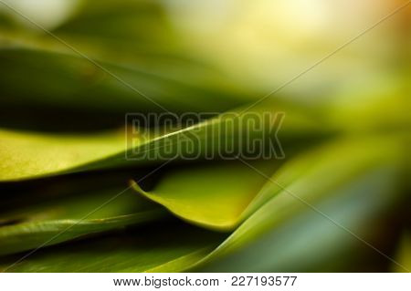 Closeup Of Fresh Leaves On Green Nature Background. Selective Focus. Shallow Depth Of Field. Soft Fo