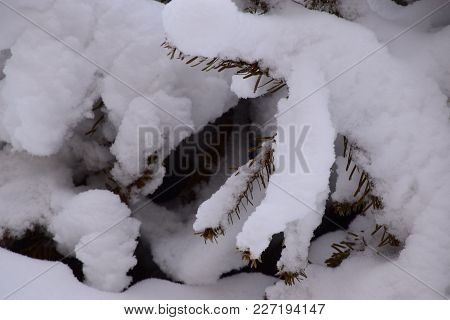 Conifer Branches With Fresh Many White Snow