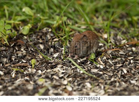 Mouse Feeding On A Sunflower Seeds In The Field, Summer In Finland.