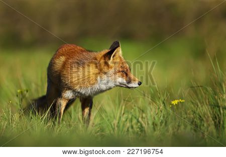 Red Fox Standing In The Field Of Grass, Uk.