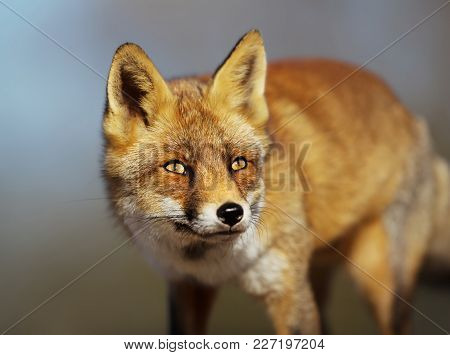 Close Up Of A Red Fox Against Blue Background, Uk.
