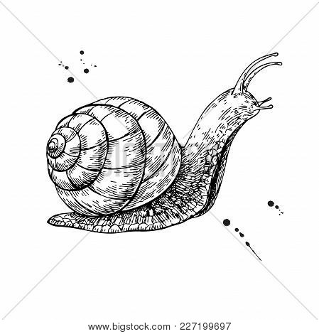 Snail Vector Drawing. Hand Drawn Isolated Sketch. Engraved Animal For Label, Logo, Mucin And Snail E