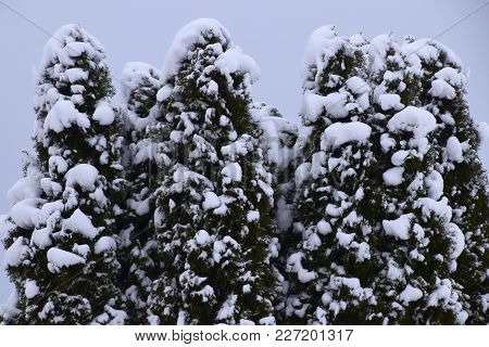 After Heavy Snowfall A Conifer Tree With Many Snow