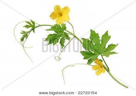 봉 선화 배 꽃