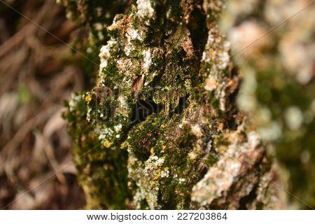 They live in lichen walls, fences, tree bark, stones, rocks