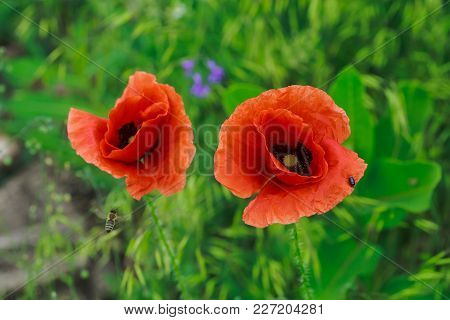 Common, Corn, Flanders, Red Poppy, Corn Rose, Field Is Flowering Plant Poppy Family Papaveraceae. Tw