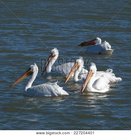 Lovely White Pelicans Out For A Swim, Soft Highlights And Reflections At Sunset.