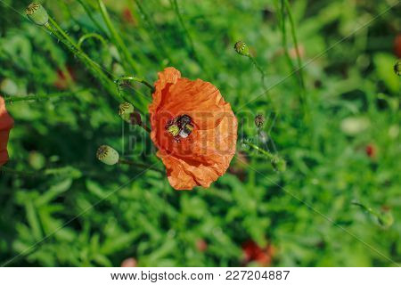 Papaver Rhoeas, Common, Corn, Flanders, Red Poppy, Corn Rose, Field Is Flowering Plant Poppy Family