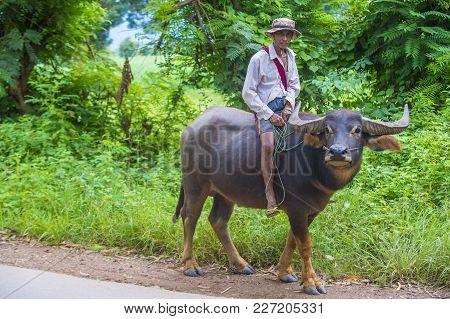 Shan State , Myanmar - Sep 06: Burmese Farmer Riding Buffalo In Shan State Myanmar On September 06 2
