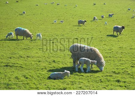 Flock Of Sheep With Young Lambs Graze On The Farmland In East Devon