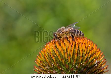 Bee Sitting On Echinacea. Echinacea Flower Close-up On A Background Of Wild Flowers And The Sky. Lar