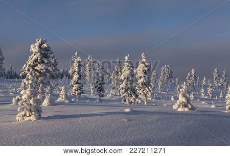 Winter Landscape Up North. Snowy, Covered Trees In Evening Light. Lapland, Rural County.