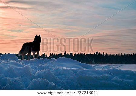 Dog Looks Sunset. Beautiful Siberian Husky Looking Sunset, Great Design For Any Purposes. Beautiful